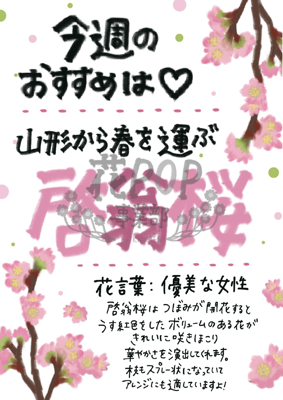 今週のおすすめ 啓翁桜